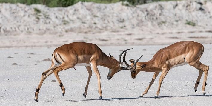 Xigera Impala rutting