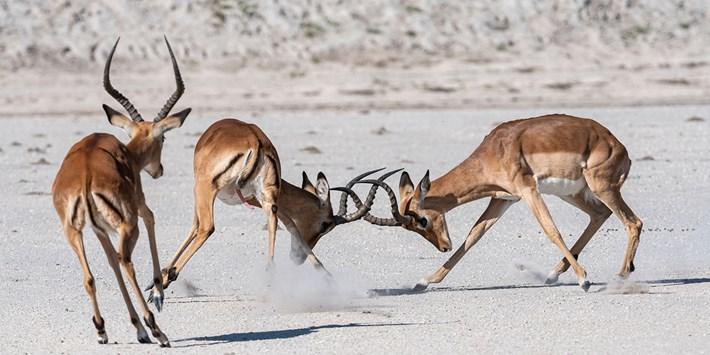 impala's rutting